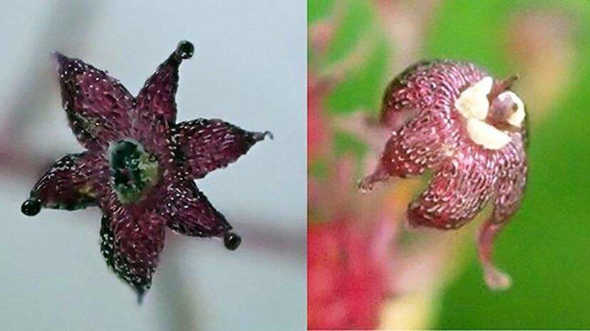 La planta engañosa y perezosa vive bajo tierra, subcontrata la fotosíntesis a los hongos