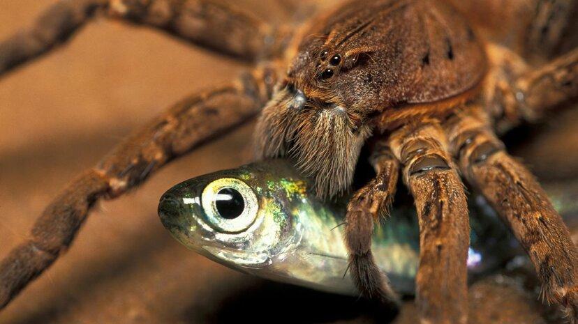 Jedes Jahr essen Spinnen Millionen Tonnen mehr Nahrung als Menschen
