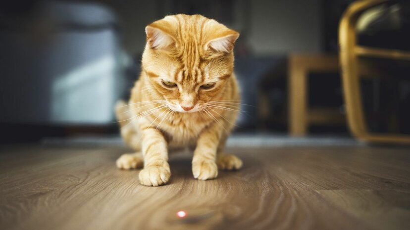 Even though a laser pointer creates a tiny, insubstantial dot, cats treat it like real prey. Why? Chris Winsor/Getty Images