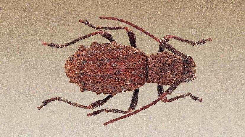 A female specimen of the newly discovered Borneostyrax cristatus. Radim Gabri