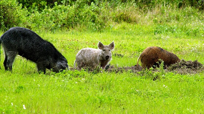 The feral pig population in the U.S. has been on a steady rise over the last 35 years. USDA