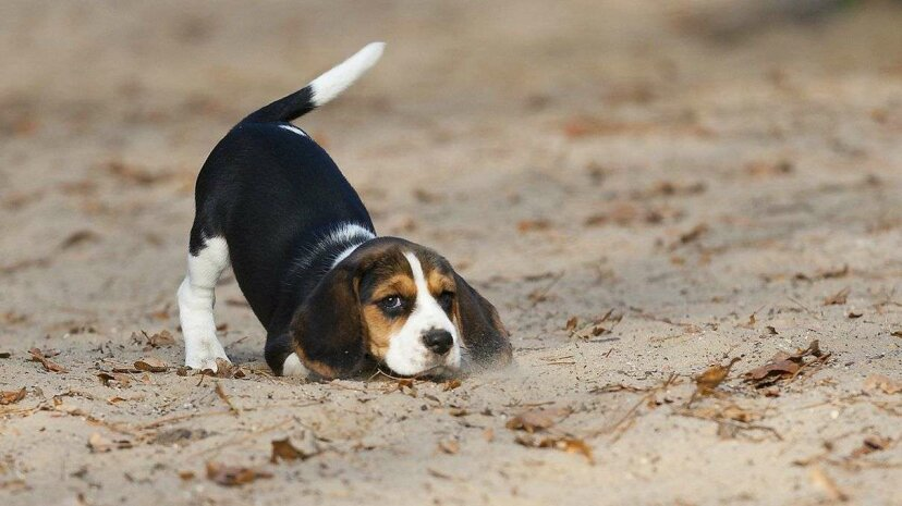 """The painful condition """"limber tail"""" sees dogs' normally waggable appendages lose their mobility. Hana Surfer/Getty Images"""