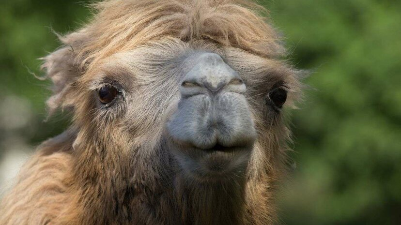 Bactrian camel close-up