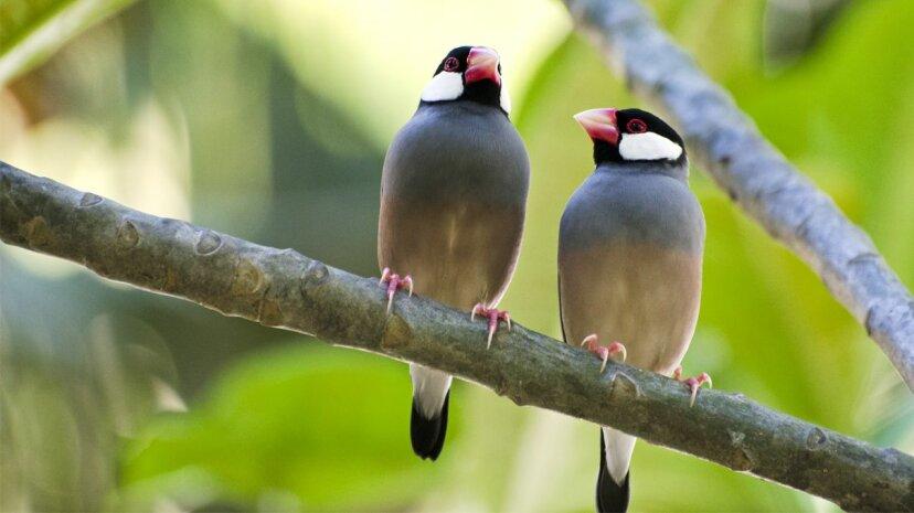 これらの小さなスズメは、歌ではなく、ダンスの動きで潜在的な仲間を判断します
