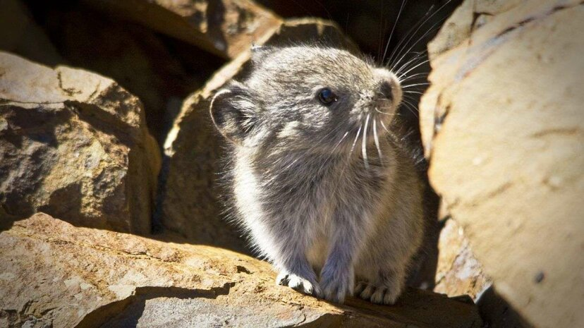 Climate changes are affecting the habitable regions for the American pika (ochotona princeps). Jacob W. Frank/National Park Service