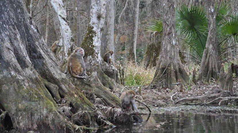 In Florida gibt es einen Fluss voller Affen - und nicht in einem Themenpark