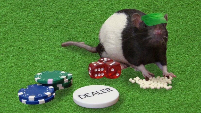 Flashing lights and loud music seem to cause rats to take bigger gambling risks. University of British Colombia/HowStuffWorks
