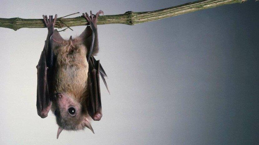 科学者はコウモリが逆さまに着陸する方法の奇妙な物理学を解きます