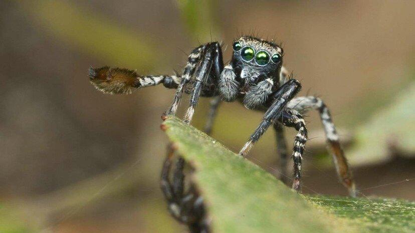 Winziger Spinnenliebhaber winkt Hallo, wenn er sich paaren will