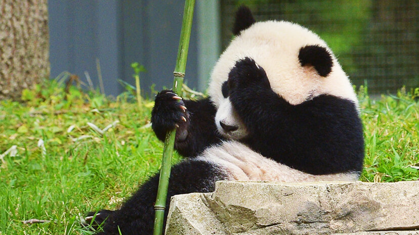The panda named Bao Bao in 2014 in Washington, D.C. The giant panda is classified as an endangered species due to its shrinking population. Mandel Ngan/Getty Images