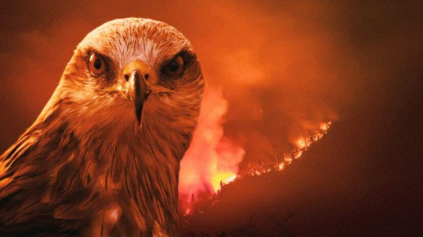トビの鳥の放火犯は、獲物を洗い流すために山火事を広げていますか?