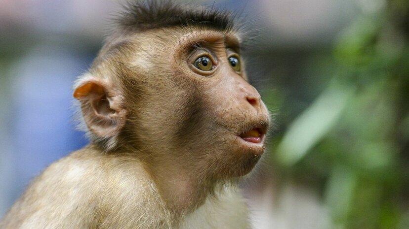 """Affen haben die Anatomie für """"menschliche"""" Sprache, aber nicht das Gehirn"""