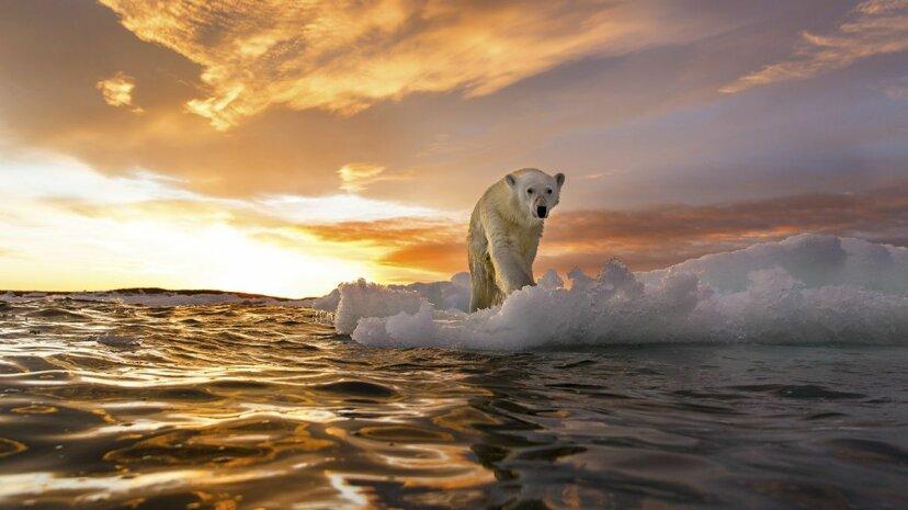 A polar bear walks atop sea ice in the Arctic Ocean. Paul Souders/Getty Images