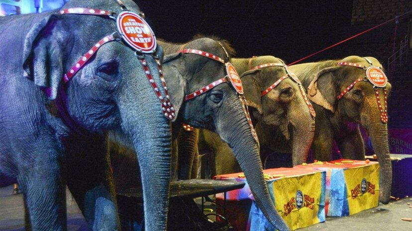 Four elephants from Ringling Bros. and Barnum & Bailey's Circus are pictured at the Los Angeles Staples Center on July 13, 2015. All of the circus's touring elephants (11 female Asian elephants) will be retired in May 2016. David A. Walega/FilmMagic/Getty Images