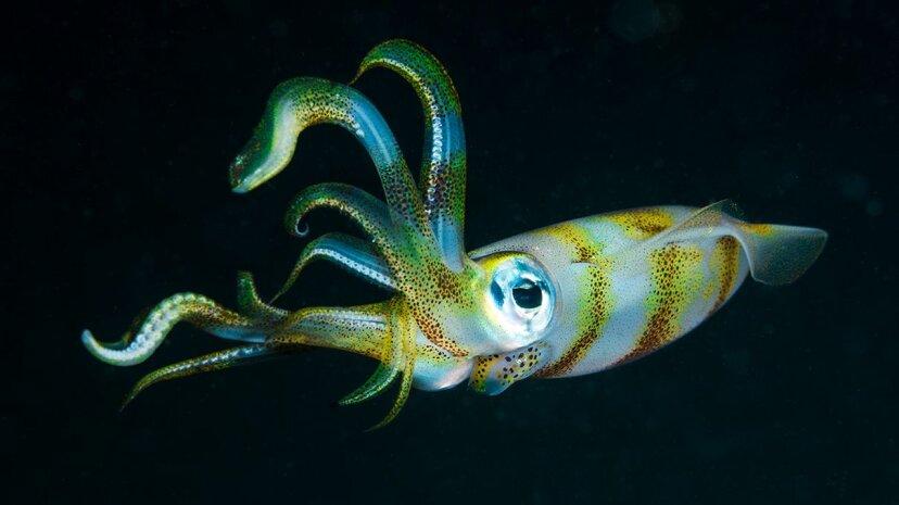 Geheimes Alphabet der Tintenfischhaut aufgrund des Gehirns völlig anders als unser eigenes