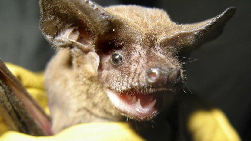 This little bat is a serious speedster. Florida Fish and Wildlife Commission/Miami Herald/Tribune News Service/MCT via Getty Images