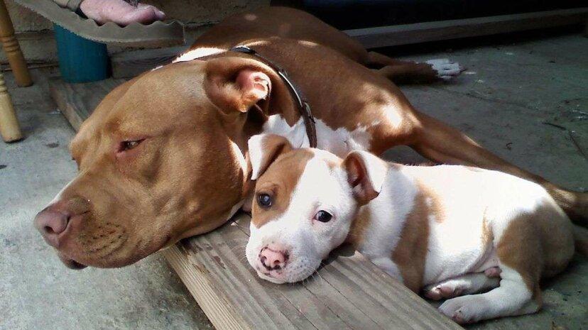 「ピットブル」ラベルの永続的なスティグマは犬の養子縁組を妨げる