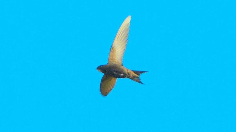 この小さな鳥は着陸せずに10か月間飛ぶことができる、生物学者は発見する
