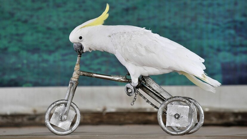Cockatoos Make Tools From Different Materials Carousel image: China Photos/Getty Images ; Video: University of Oxford/YouTube