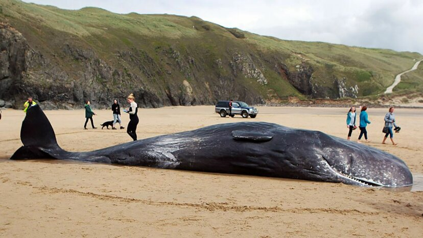 A female sperm whale stranded on a Cornish beach on July 10, 2016, died on the shore in Cornwall, England. Graham Stone/Barcroft Media/Getty Images