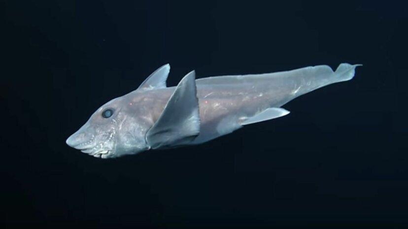 The pointy-nosed blue ratfish Hydrolagus trolli Monterey Bay Aquarium Research Institute (MBARI)/YouTube
