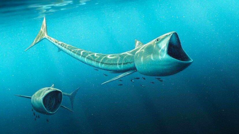 An artist's interpretation of what Rhinconicthys may have looked like. Robert Nicholls