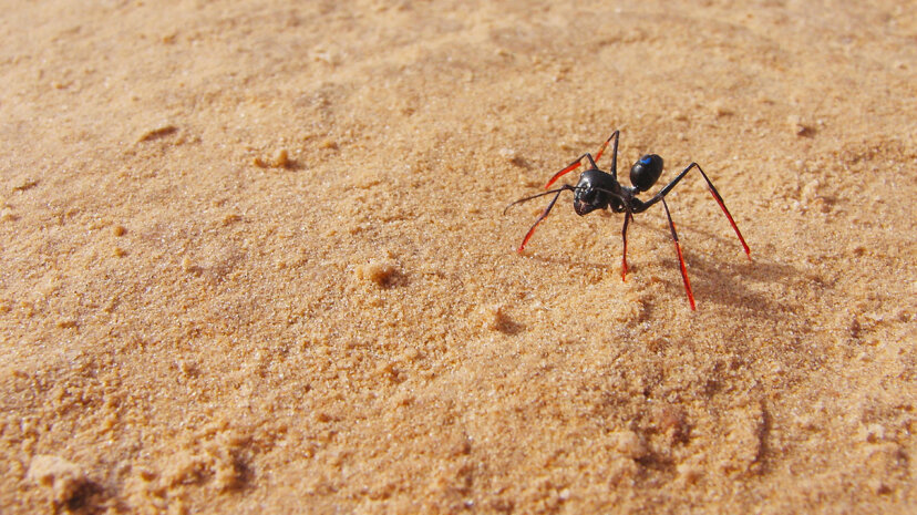 Stilts helped scientists determine that desert ants counted steps to calculate the distance to their home. Matthias Wittlinger