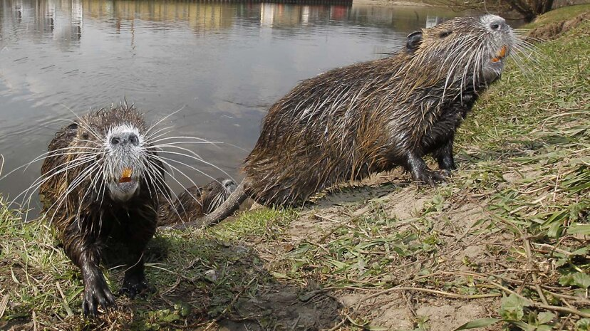 Nutria: ratas de río que solo una madre podría amar