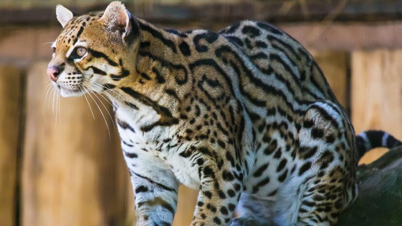 Conoce al ocelote: el gato grande más lindo