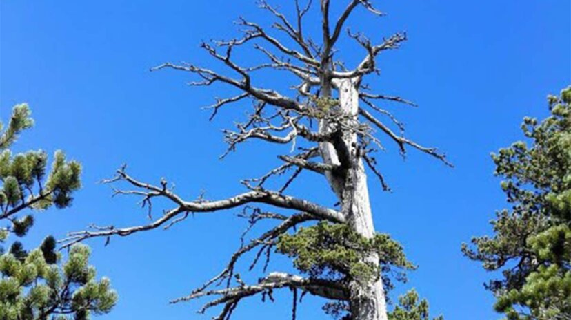 El árbol más antiguo de Europa sigue creciendo