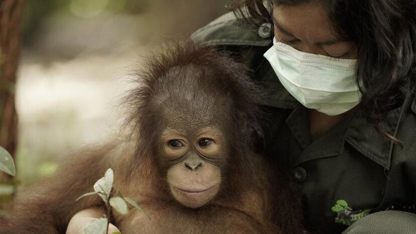 Orang-Utan-Dschungelschule: Orang-Utans lehren, wie man Orang-Utans ist