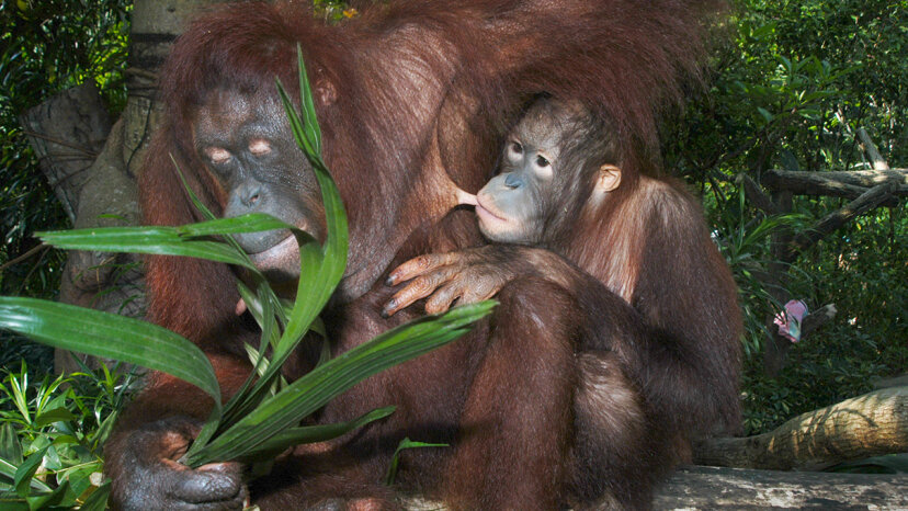 A new study finds that orangutan young are able to nurse for a significant portion of their lives. Peter Bischoff/Getty Images
