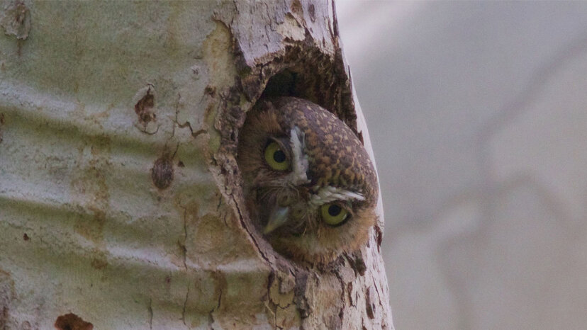Elf owl, smallest owl