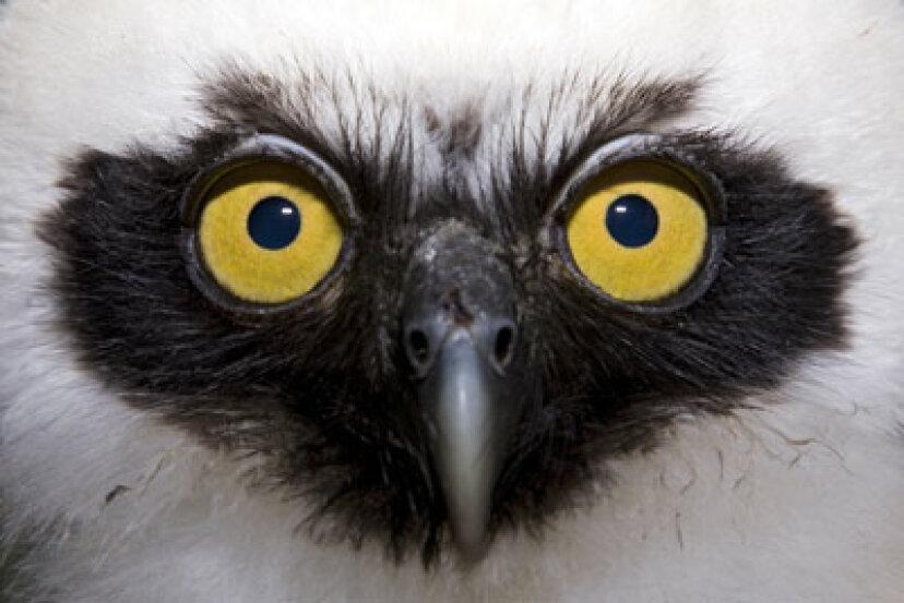 フクロウはどうやって静かに飛ぶことができますか?