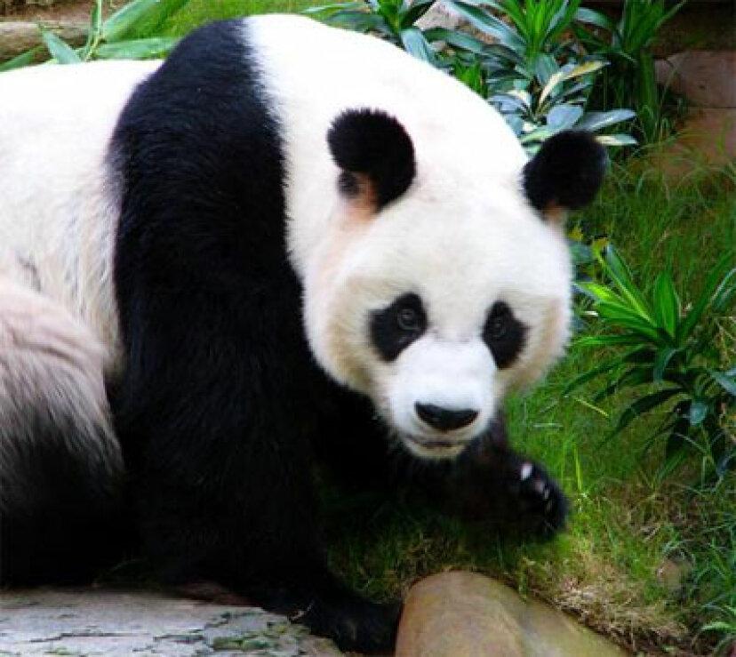 ジャイアントパンダの出生率がこんなに低いのはなぜですか?