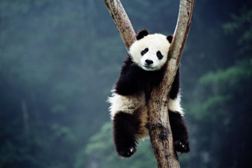 パンダは冬眠しないのはなぜですか?