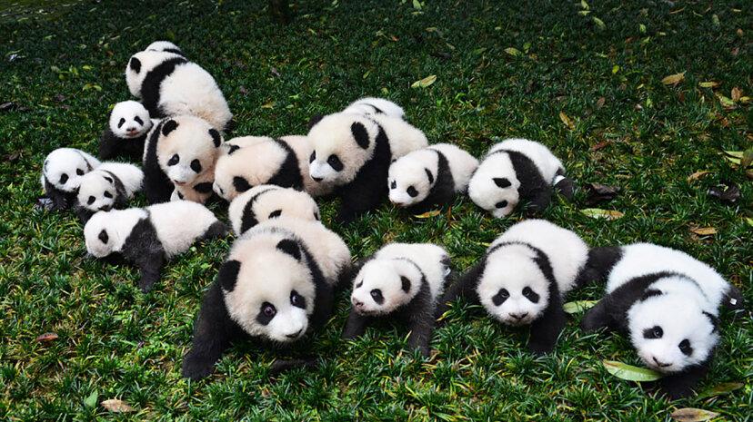 Las poblaciones de pandas están creciendo, pero su hábitat sigue en riesgo
