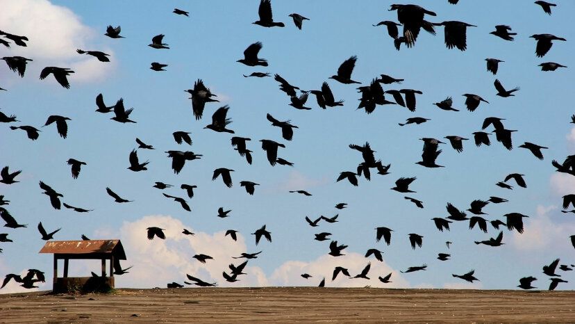 crows flying in field