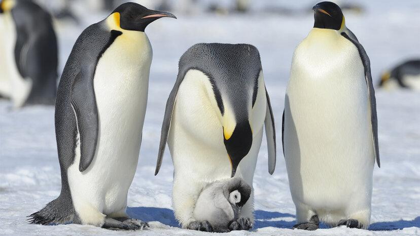 Pinguine: Die monogamen Smoking-Vögel, die unter Wasser 'fliegen'