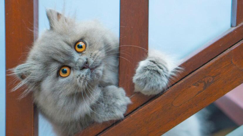ラップナッパーの王、ペルシャ猫についての8つの事実