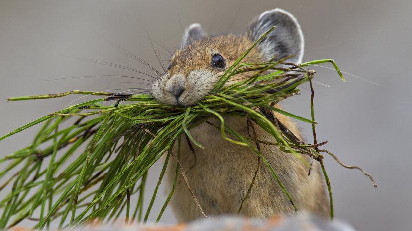ナキウサギは野生のピカチュウです