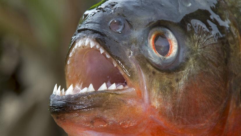 ピラニア:評判の悪い歯のニッパー