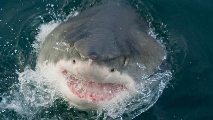 great white shark with open jaw