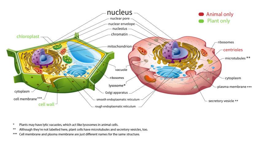 植物細胞と動物細胞の違いは次のとおりです