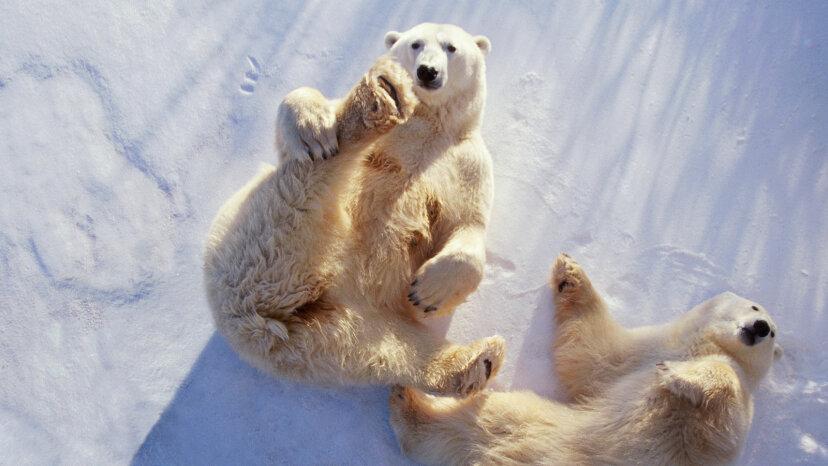 polar bears lying on backs