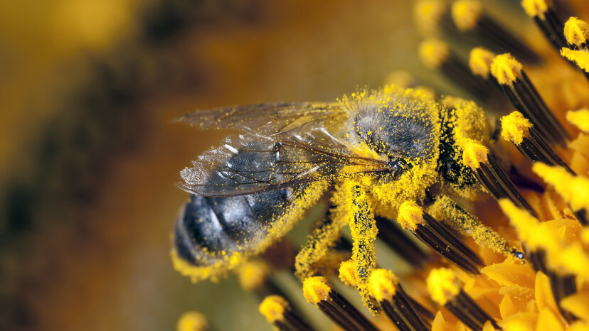 pollen-covered bee