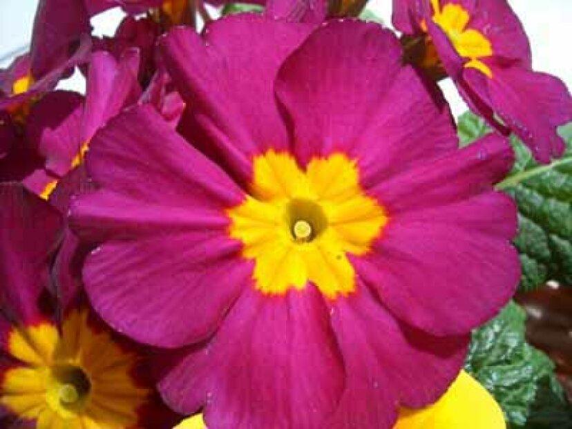 ノイバラ:花のプロファイル