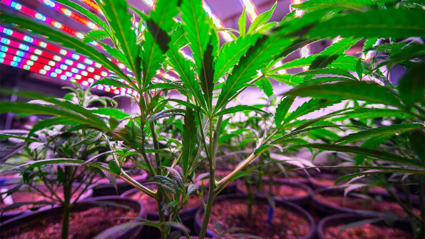 marijuana farms, air quality