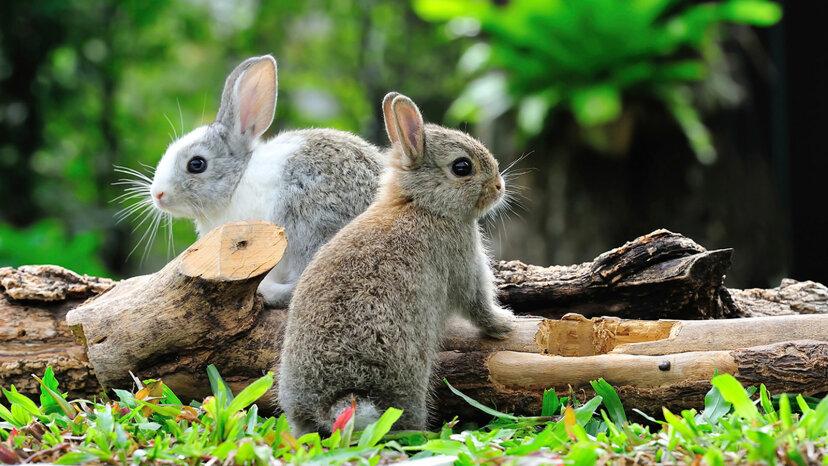 ウサギは3月に本当に夢中になりますか?