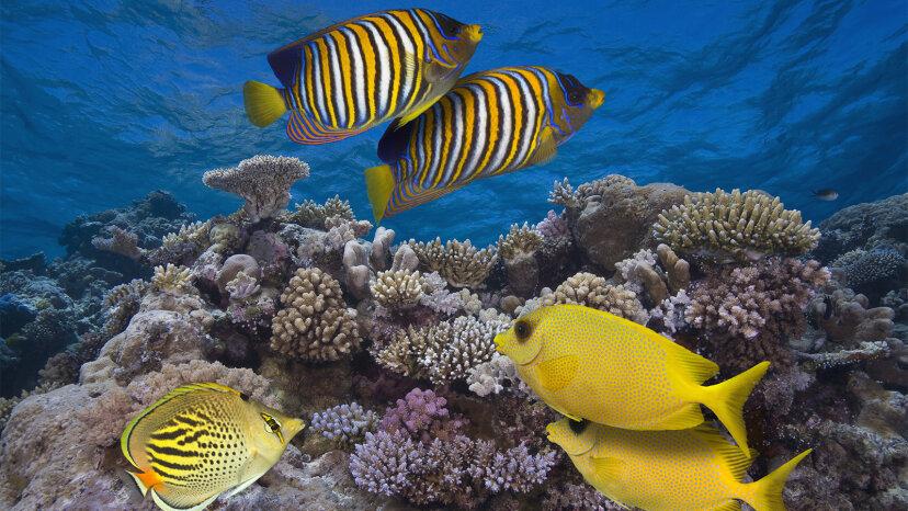 Es braucht einen DJ: Gesunde Riffgeräusche können Fische zu beschädigten Riffen locken